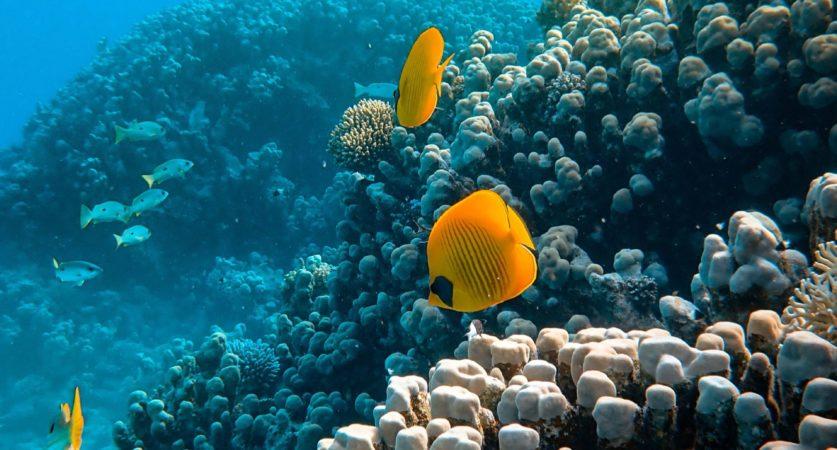 Vissen bij de koraalriffen